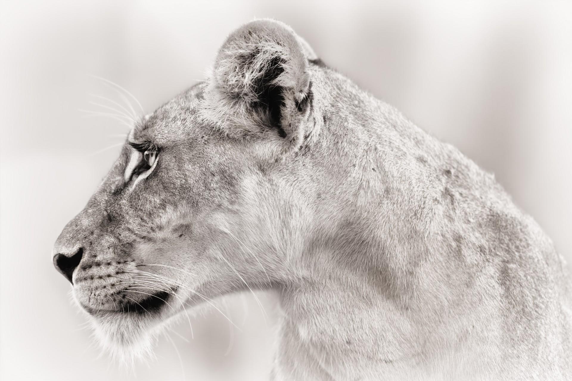 Djikee close up female lion