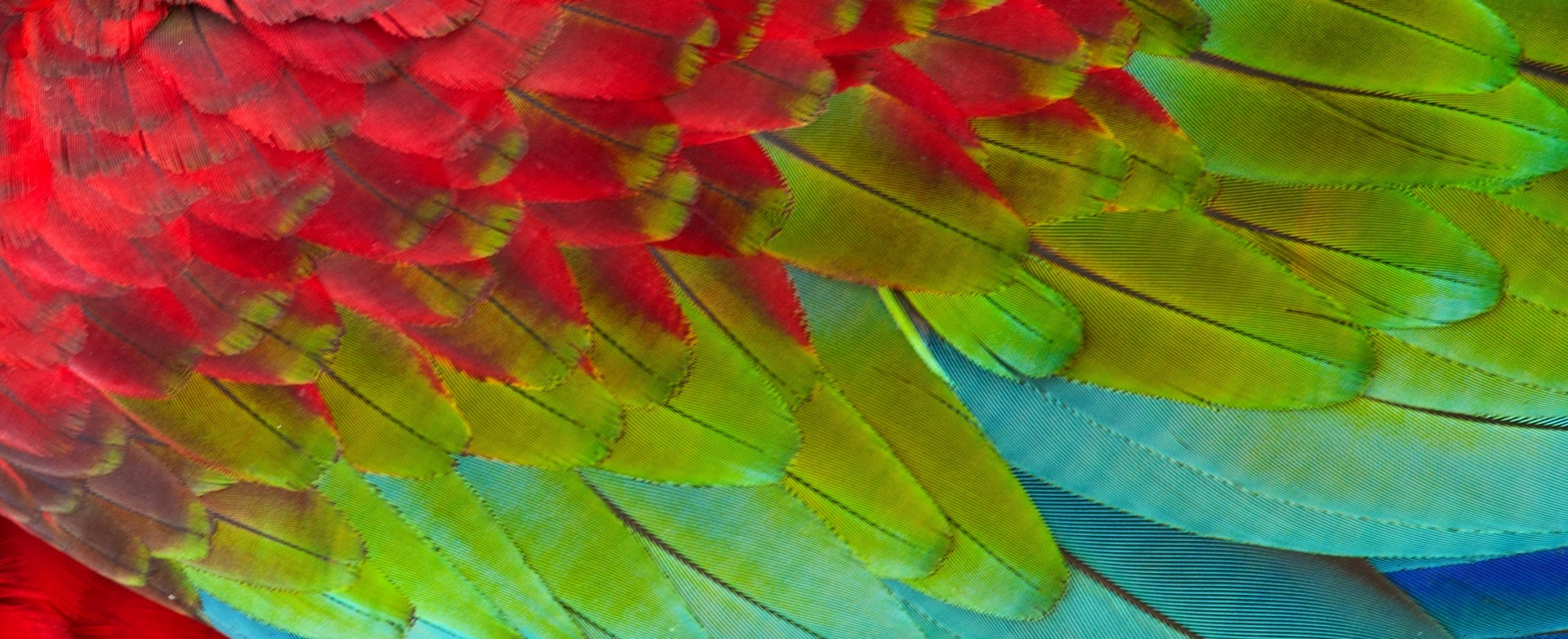 Djikee feathers