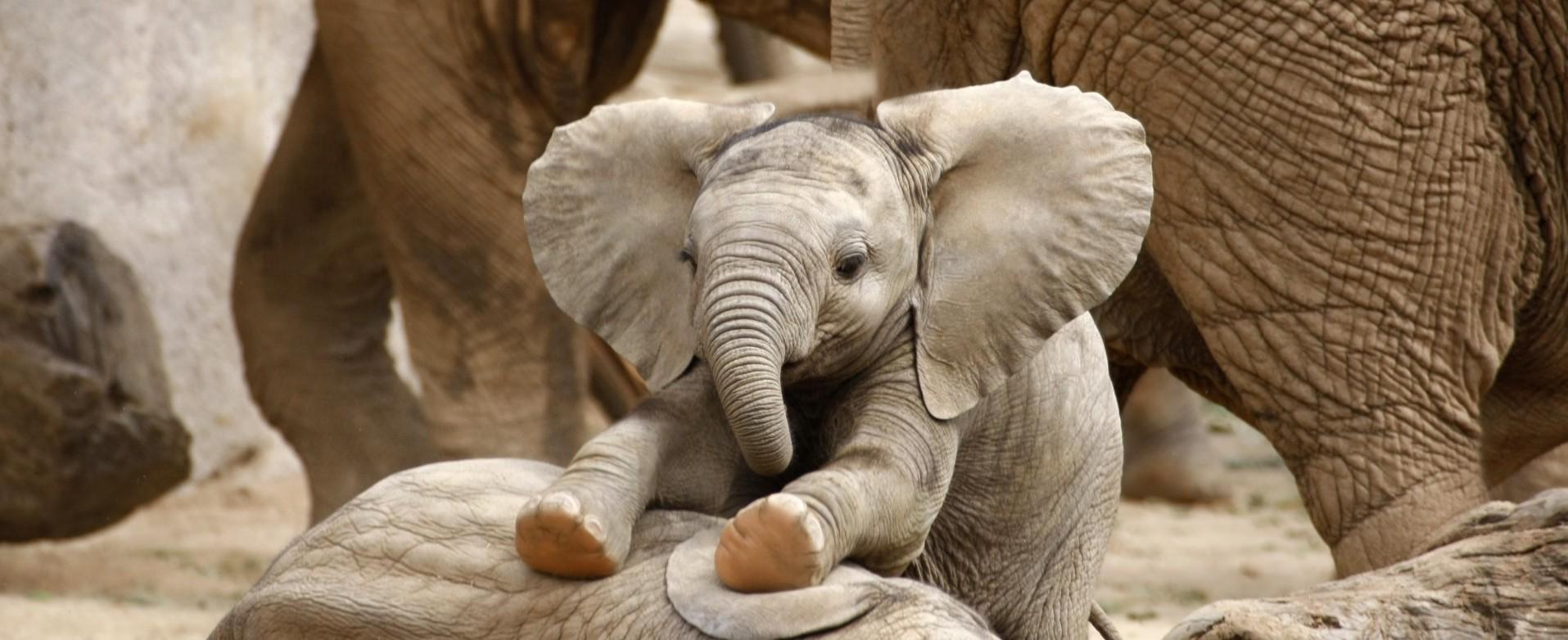 Djikee elephant
